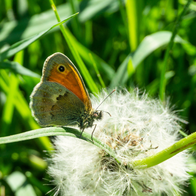 """Nice small orange butterfly perched on grass in front of faded dandelion"" stock image"