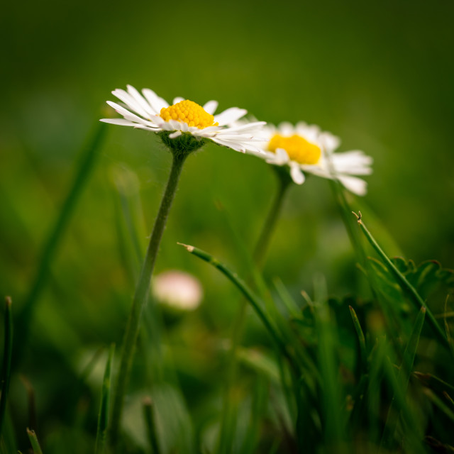 """Detail of two nice daisies with nice golden center in green grass"" stock image"