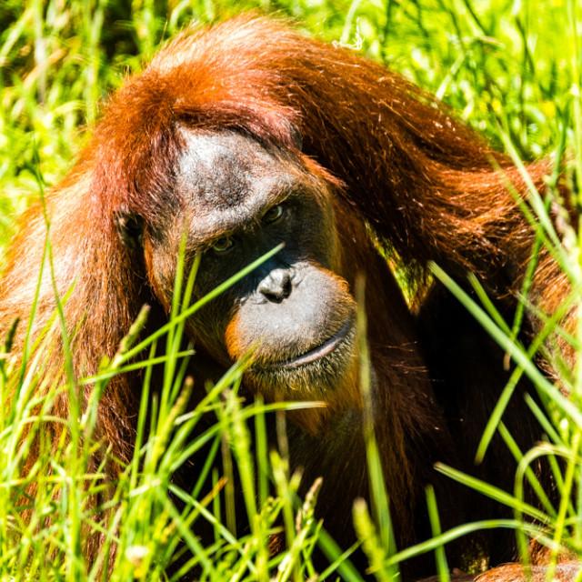 """Orangutan 1"" stock image"