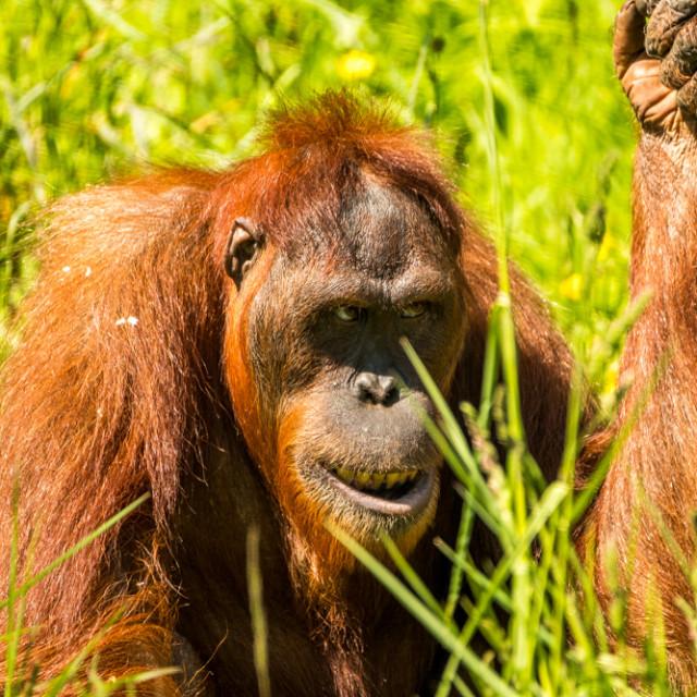 """Orangutan 2"" stock image"