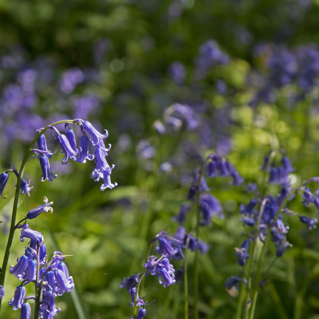 """Bluebells in English Woodland"" stock image"