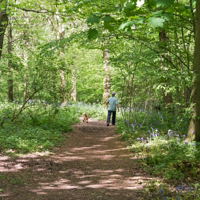 """Dog Walker in English Bluebell Woodland"" stock image"