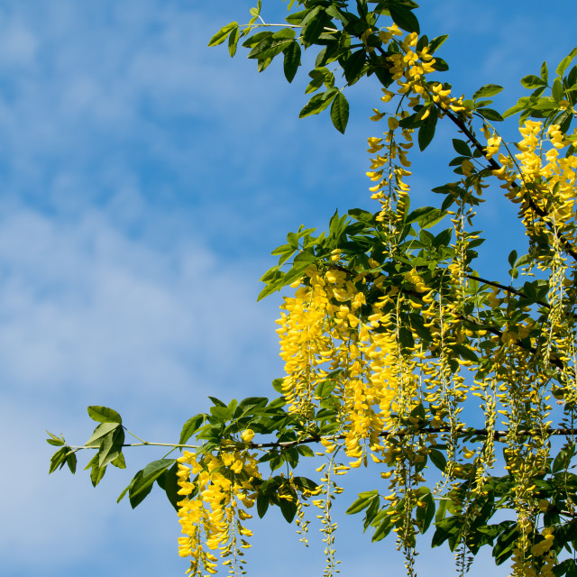 """Laburnum Tree in Flower"" stock image"
