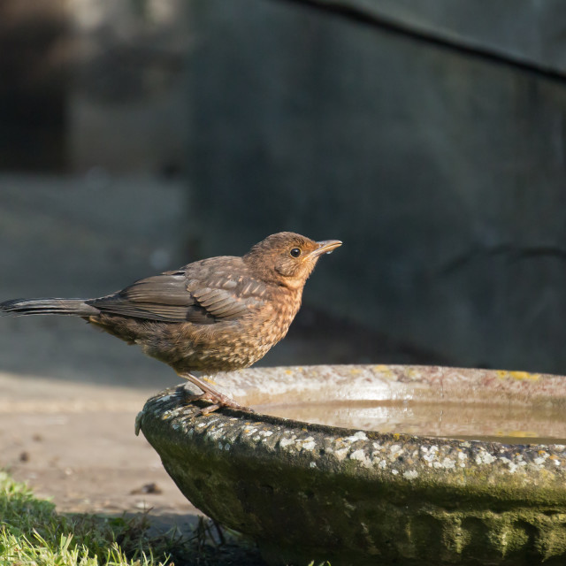 """European Blackbird Fledgling Drinking"" stock image"