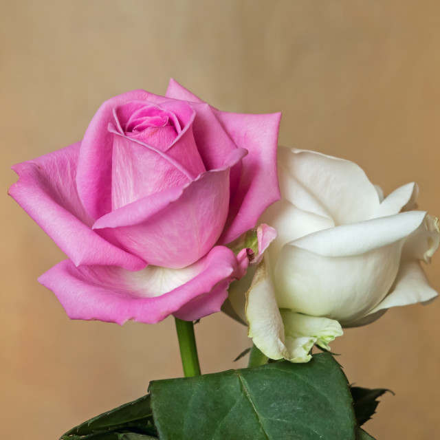 """Rosebuds Pink and White"" stock image"