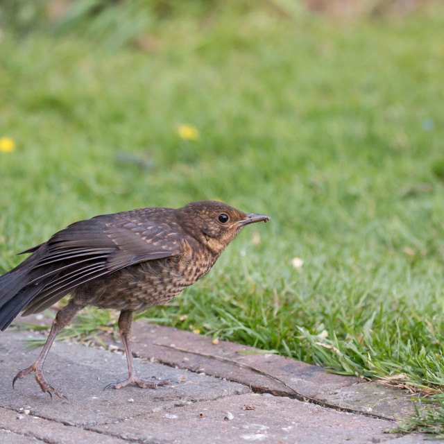 """European Blackbird Fledgling Stretching Wing in Garden"" stock image"