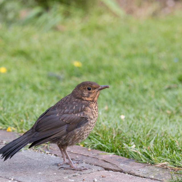 """European Blackbird Fledgling in Garden"" stock image"