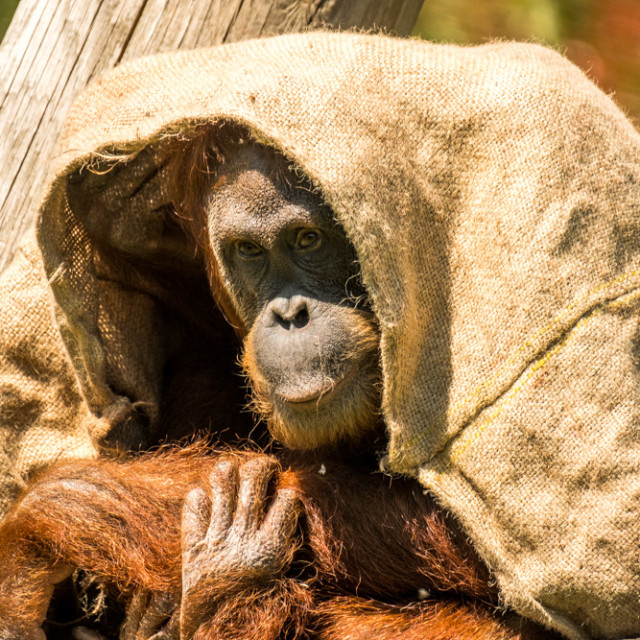 """Orangutan 3"" stock image"