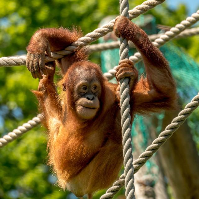 """Orangutan 4"" stock image"