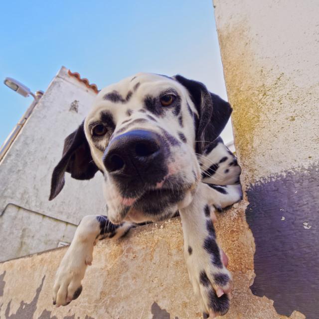 """""""Portugal, Azores, Corvo, Dalmatian Dog in Vila do Corvo."""" stock image"""