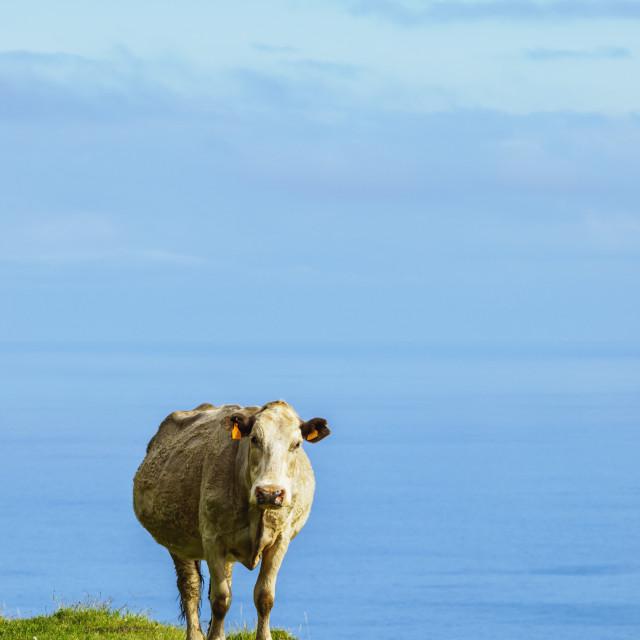 """Portugal, Azores, Cow on Corvo Island."" stock image"