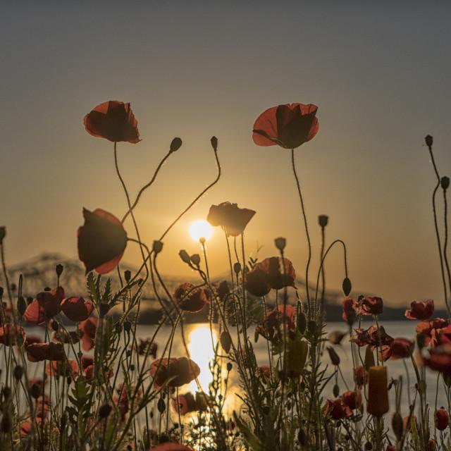 """Poppy flowers at sunset"" stock image"