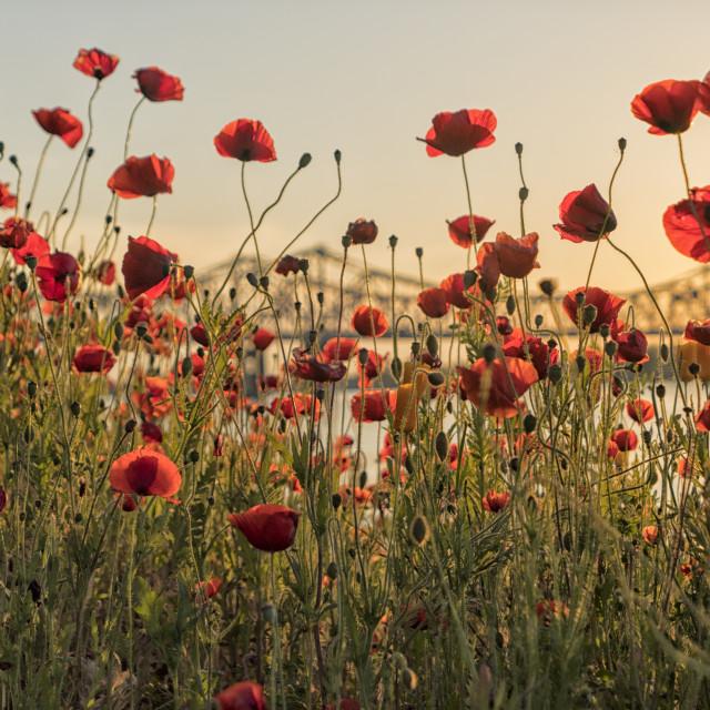 """Red poppy flowers and Natchez bridge"" stock image"