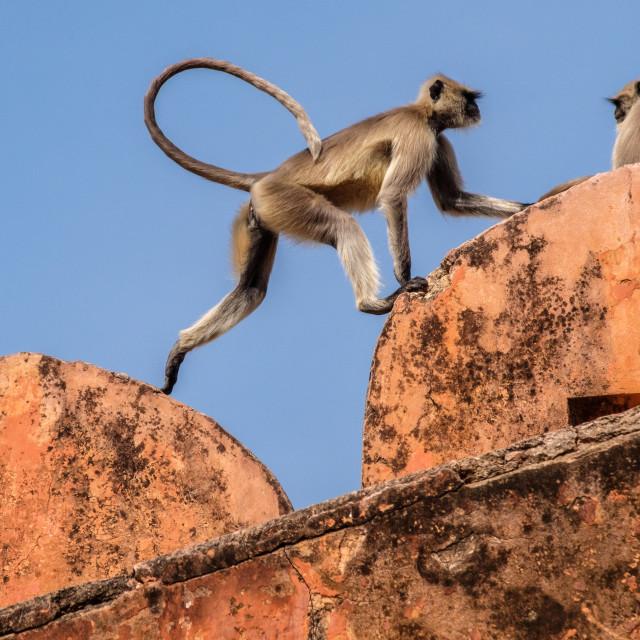 """Black Face Monkeys. 2"" stock image"