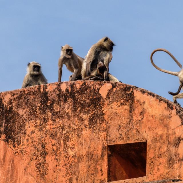 """Black Face Monkeys."" stock image"