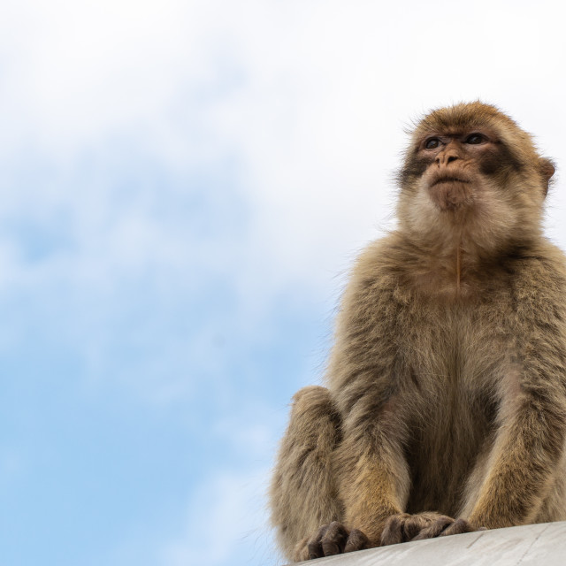"""Young Barbary Macaque"" stock image"