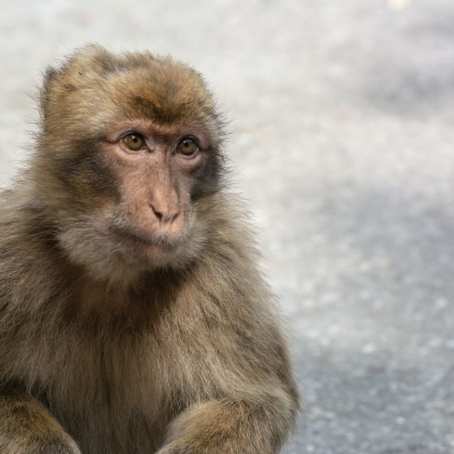 """""""Young Barbary Macaque"""" stock image"""