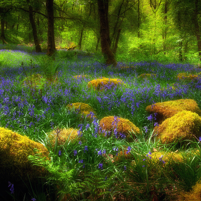 """Woodland British Bluebells"" stock image"