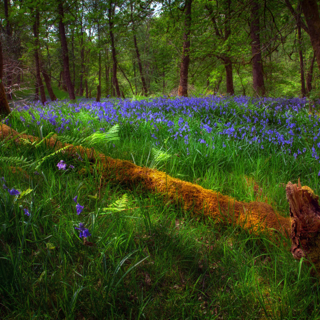 """Bluebells and a fallen tree"" stock image"