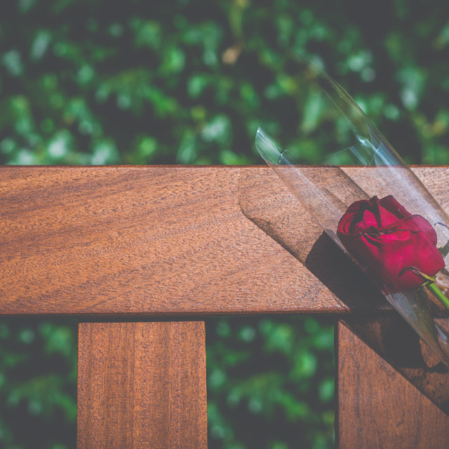 """Single Bereavement Rose"" stock image"