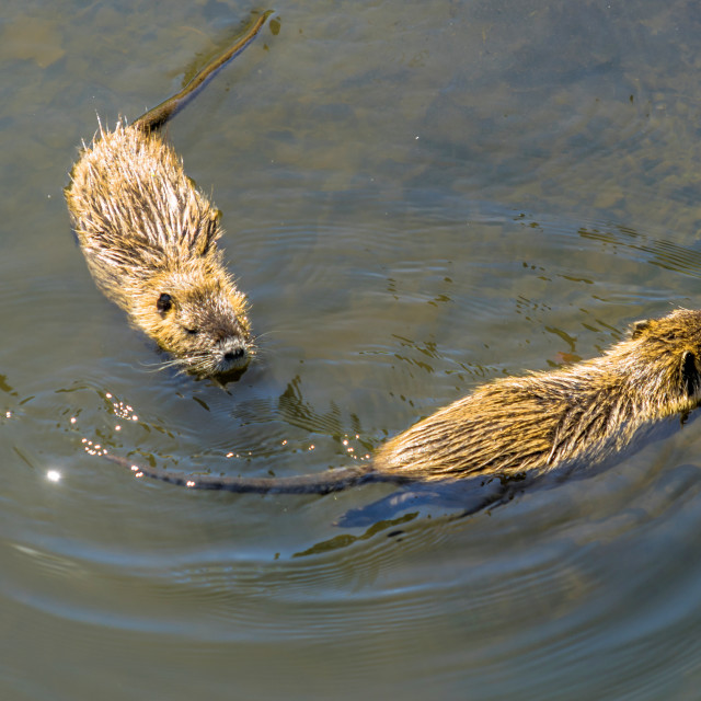 """""""Two muskrats swimming in the water of the Shlossgraben of Wolfsburg Castle"""" stock image"""