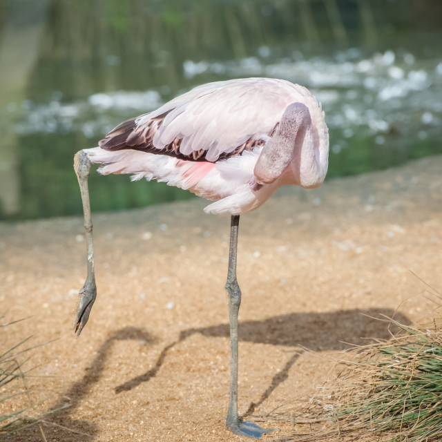 """flamingo preening"" stock image"