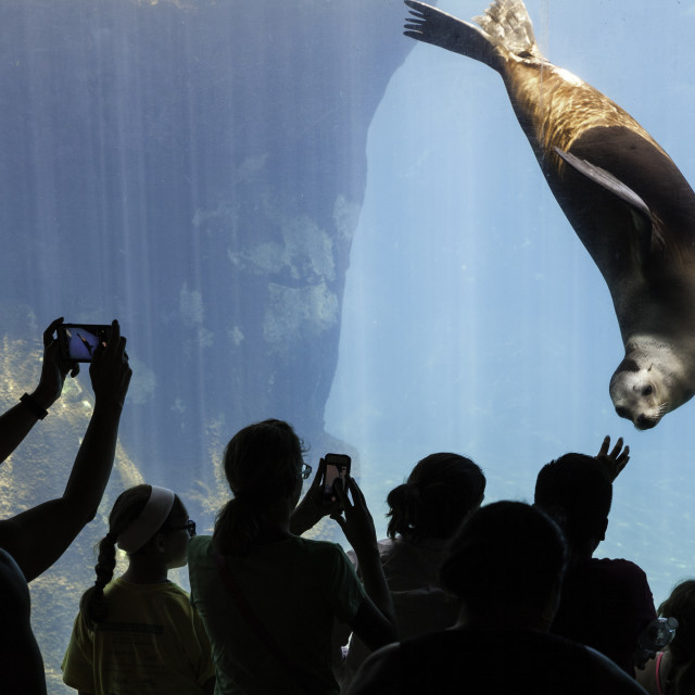 """Sea lion in aquarium"" stock image"
