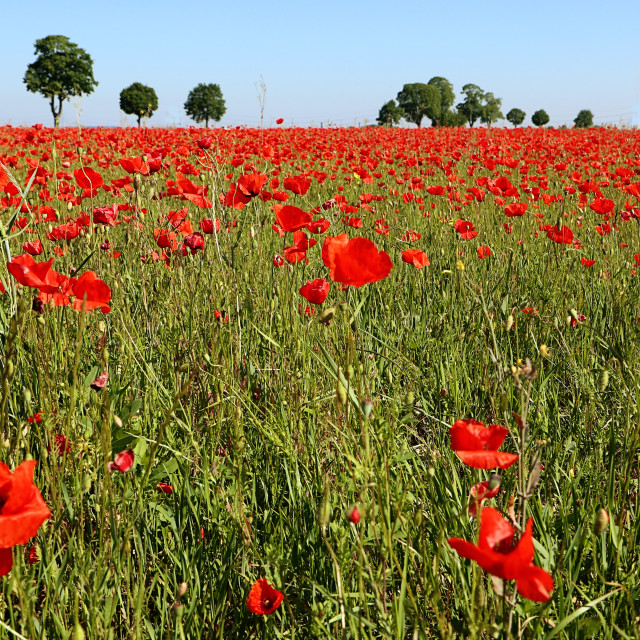 """""""Garching, Germany - Incredible red poppy fields in Bavaria!"""" stock image"""