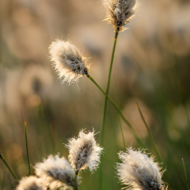 """Backlit Cotton-grass"" stock image"