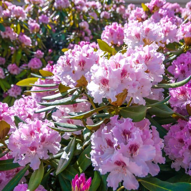 """Abundant bloom of pink flowering Rhododendron shrub"" stock image"