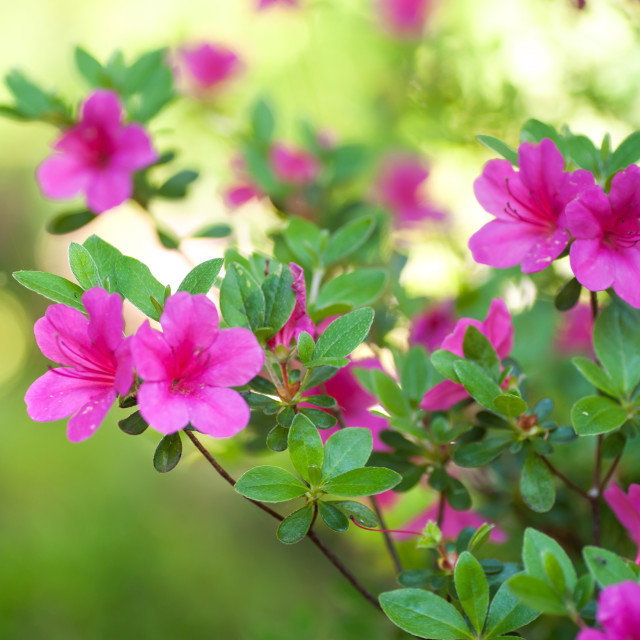 """""""Pink Rhododendron flowers against green background"""" stock image"""