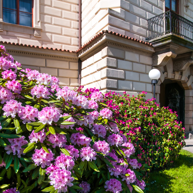"""""""Abusndant bloom of Rhododendrons at main entrance of Pruhonice c"""" stock image"""