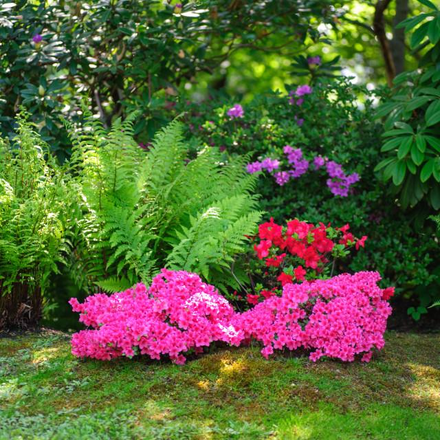 """Pink Blooming azalea shrubs in Japanese botanic garden"" stock image"