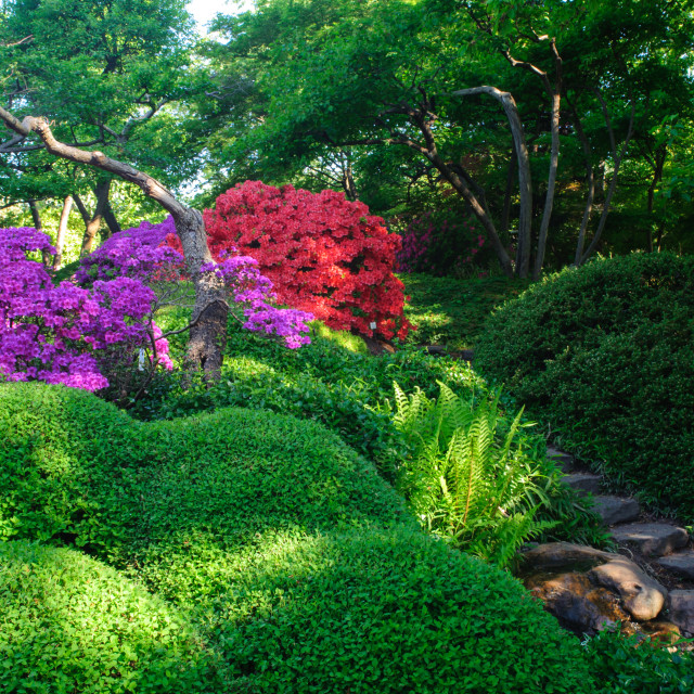 """""""Luscious Bloom Of Rhododendrons In Japanese Garden in Prague"""" stock image"""