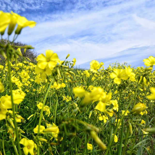 """Rapeseed growing in the wild"" stock image"