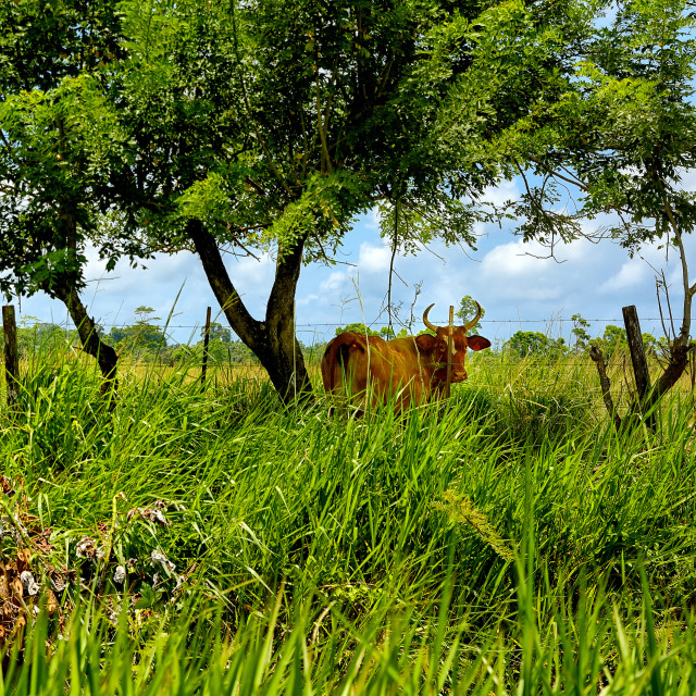 """Cows enjoying shade in a field"" stock image"