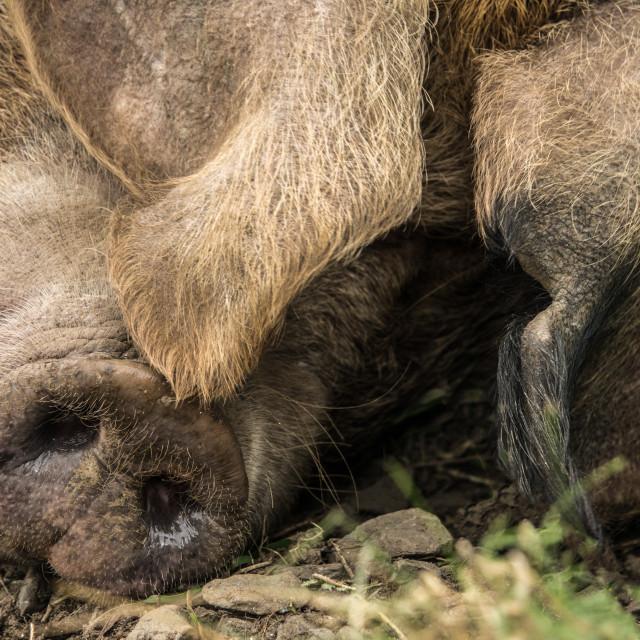 """Close-Up Of A Pig"" stock image"