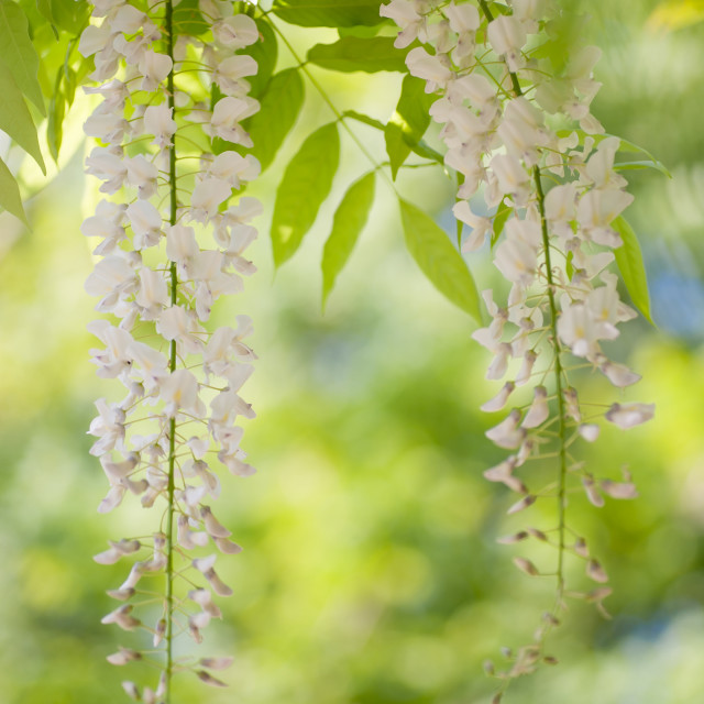 """""""Long white inflorescences of flowering Wisteria"""" stock image"""