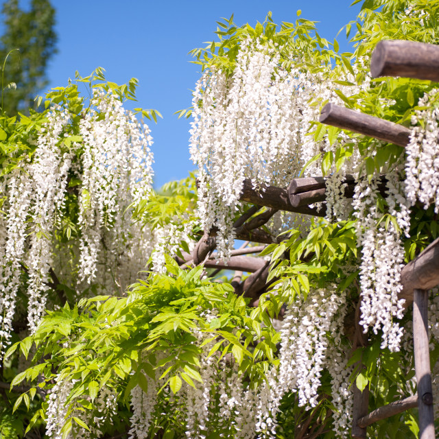 """""""White long inflorescences of flowering Wisteria"""" stock image"""