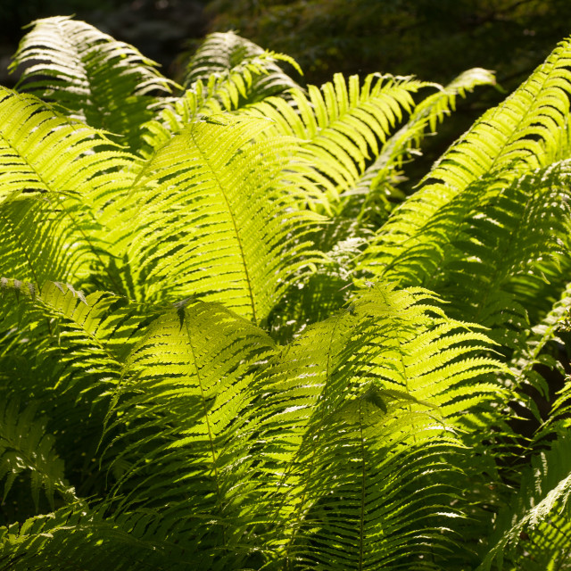 """""""Vvid green fern leaves in garden backlit with sun"""" stock image"""