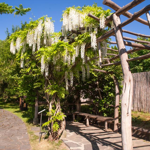 """Blooming White Wisteria in Japanese Garden in Prague"" stock image"