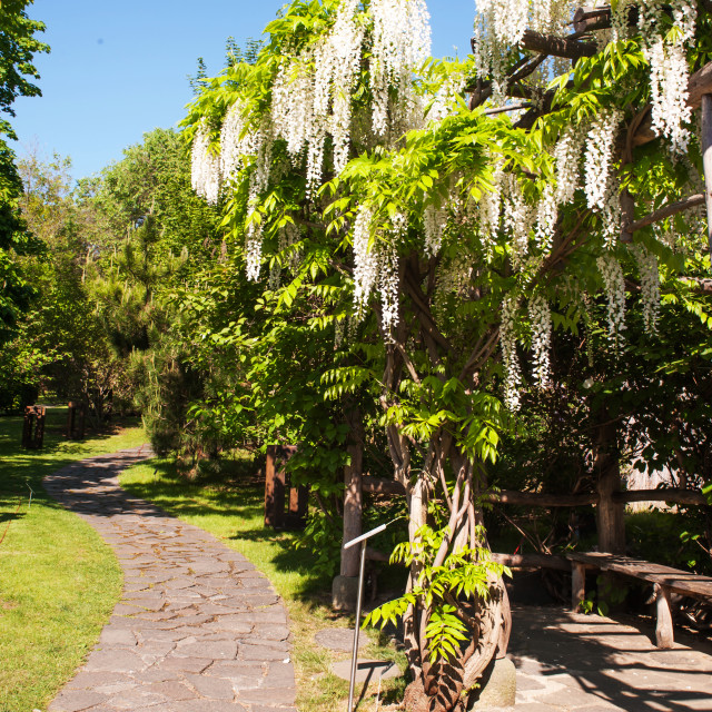 """""""Blooming White Wisteria in Japanese Garden in Prague, vertical"""" stock image"""
