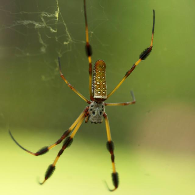 """Golden Silk Orb-Weaver Spider"" stock image"