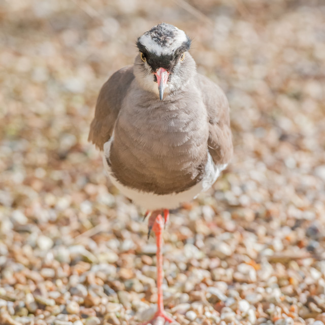 """crowned plover"" stock image"