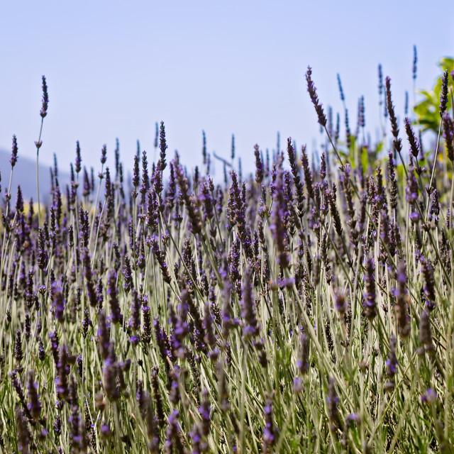 """Lavender Field in Bloom on a Hillside"" stock image"