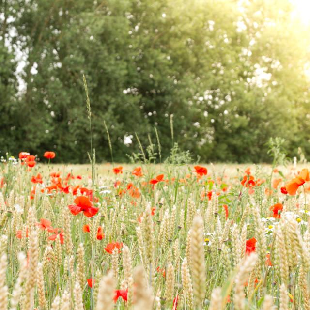 """""""Poppy Sunrise"""" stock image"""