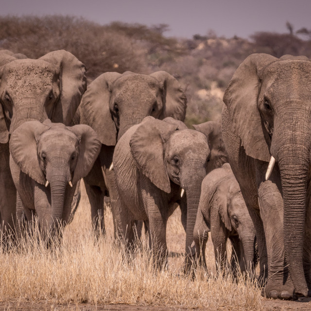 """""""Elephant family on the move"""" stock image"""