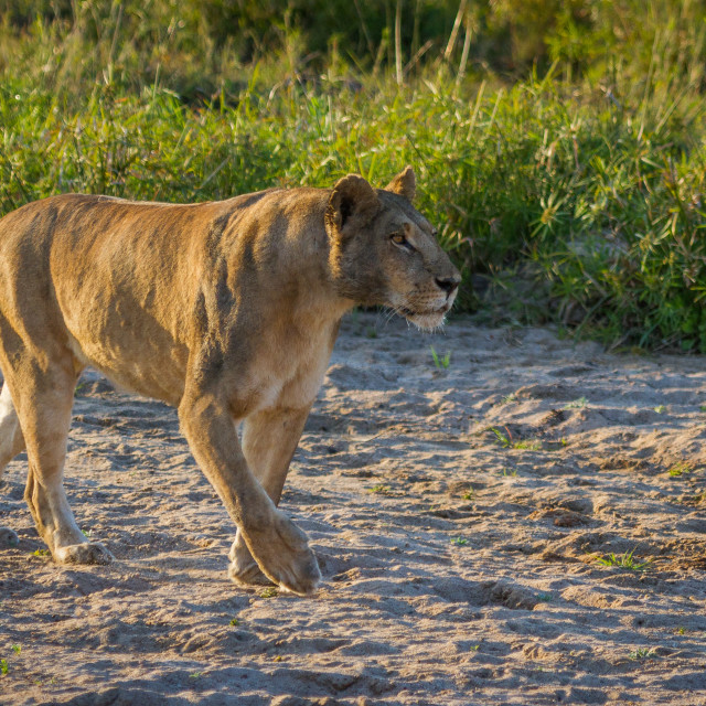 """""""Lioness stride"""" stock image"""