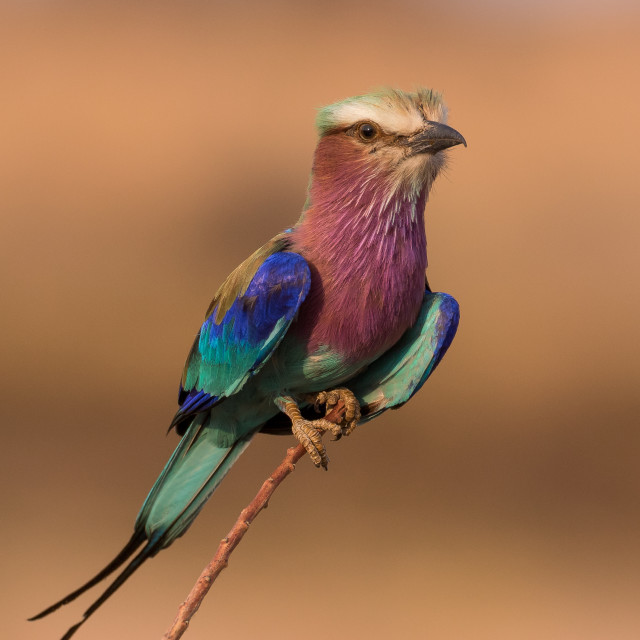 """Lilac Breasted Roller"" stock image"