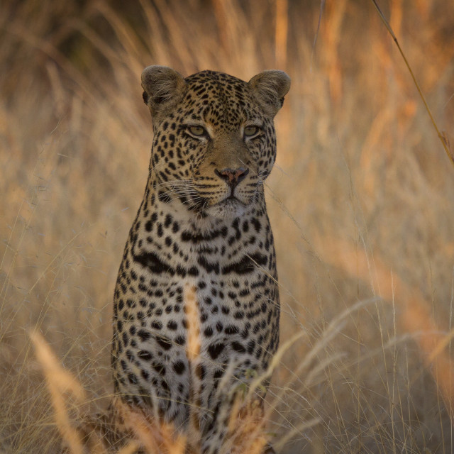 """""""Leopard in the grass"""" stock image"""